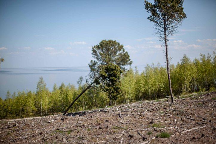2017-05-14, Pine trees, woods, gras, gräs, skog, barrskog, himmel, moln, sky, clouds, Foto: Karl Larsson